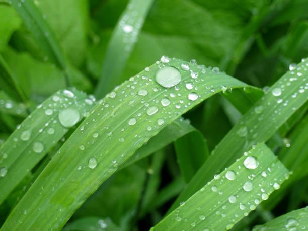 morning dew in the form of drops on the young green grass. - filo d'erba foto e immagini stock