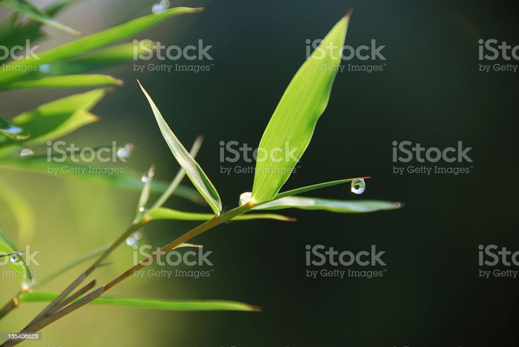 Morning Dew on Bamboo Leaf stock photo