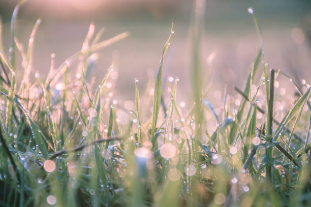 Morning dew on grass leaves during dawn.Coloured nature image. stock photo