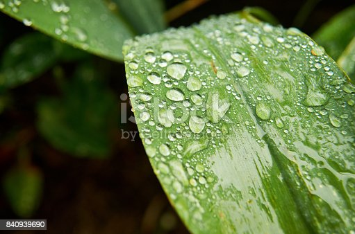 istock Morning dew on green foliage. Early morning 840939690