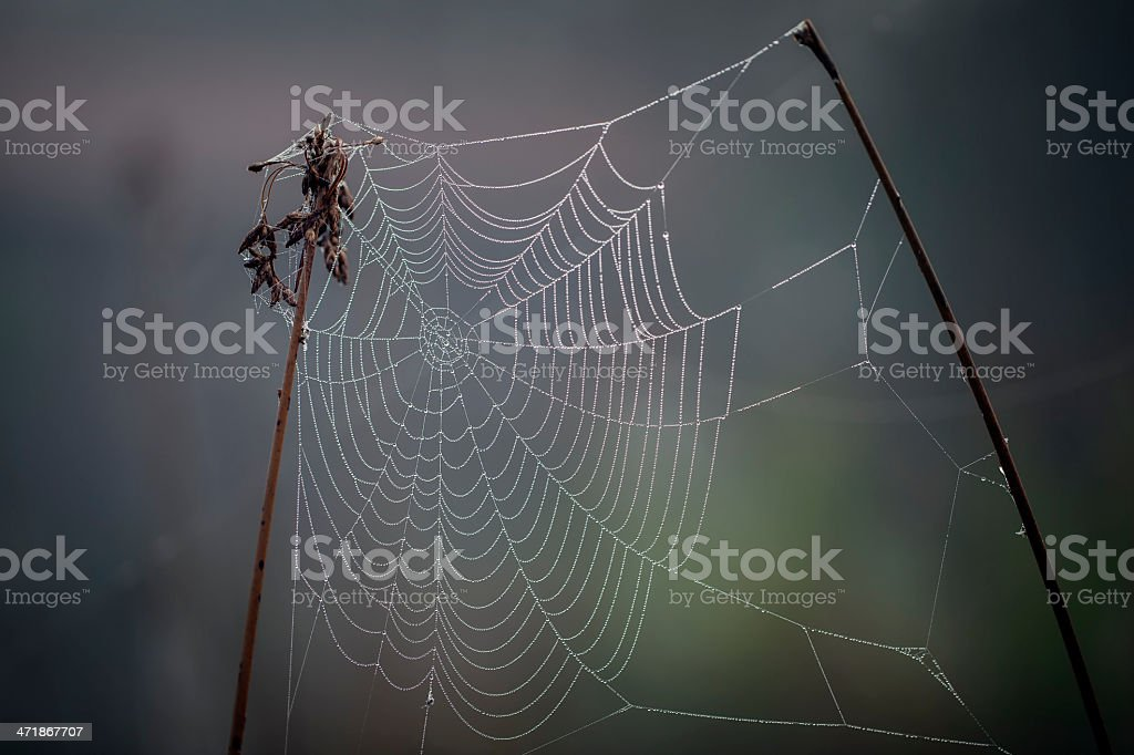 Morning dew on spider web royalty-free stock photo
