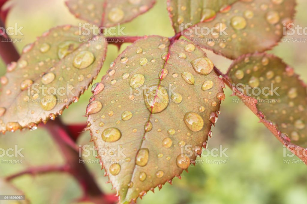 Morning dew on the leaves of the pink Bush. Close up royalty-free stock photo