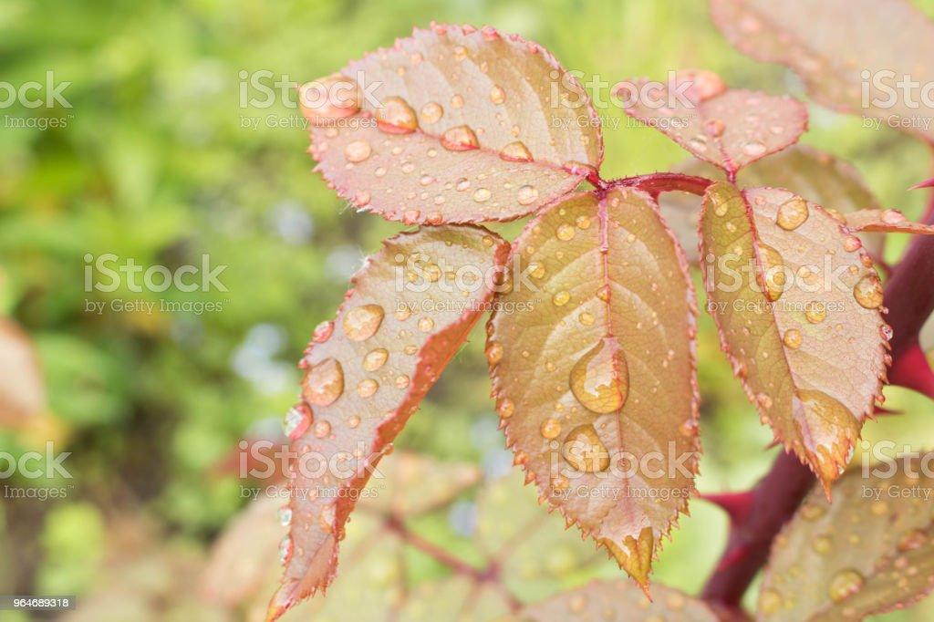 Morning dew on the leaves of the pink Bush royalty-free stock photo