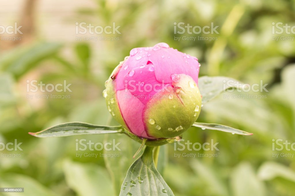 Morning dew on the peony Bud. Close up royalty-free stock photo