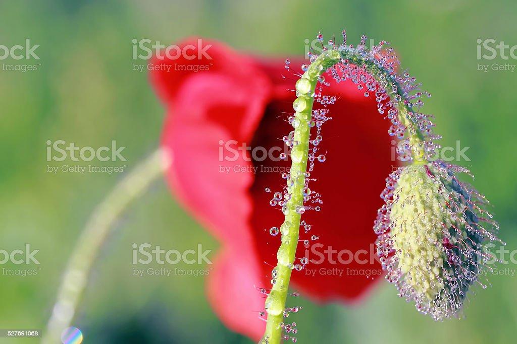 morning dew poppy bud stock photo