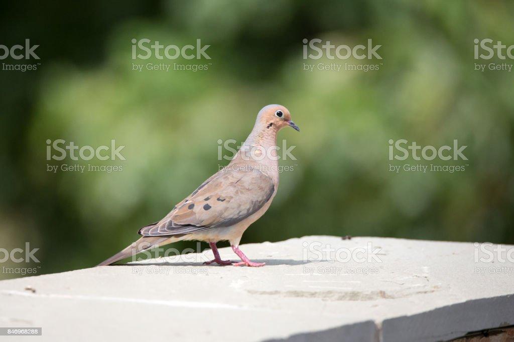 Morning dove in northern Virginia stock photo