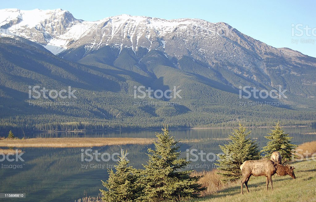 Morning Elk In the Rocky Mountains stock photo
