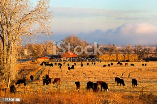 Cows grazing on Colorado ranch.