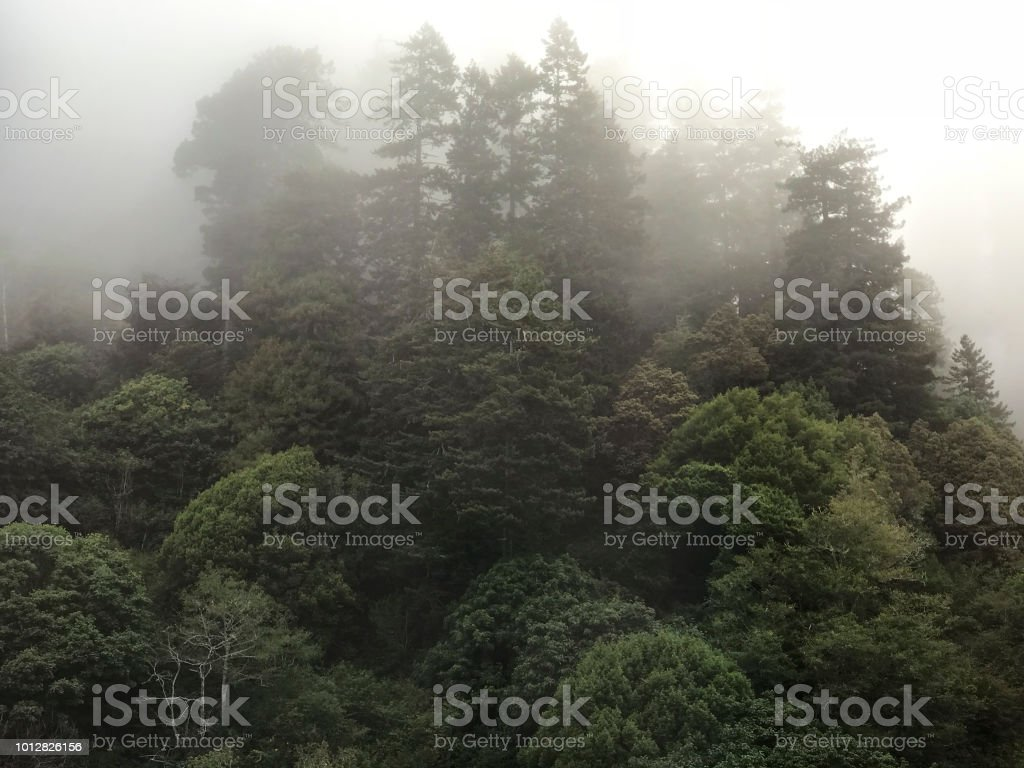 morning fog in redwood forest stock photo
