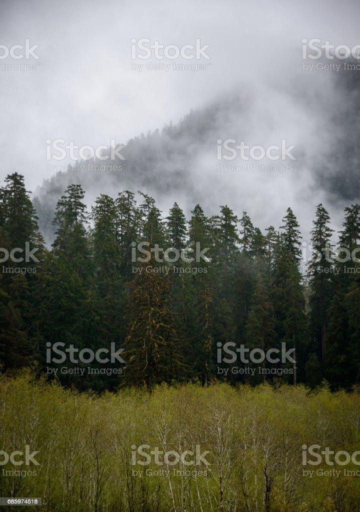 Morning Fog Over the Treeline, Hoh Rainforest in Olympic National Park stock photo