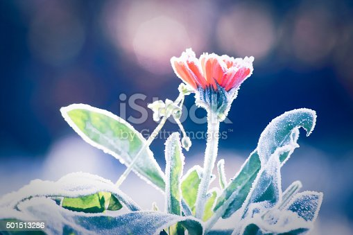 Morning frost on Pot Marigold flower. End of Autumn and beginning of Winter, season change.