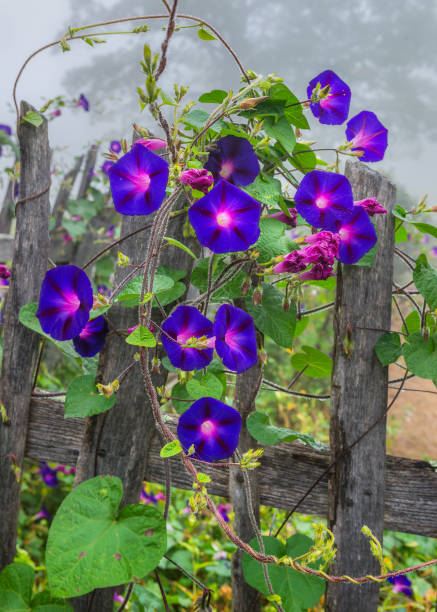 Morning glory and old fence stock photo