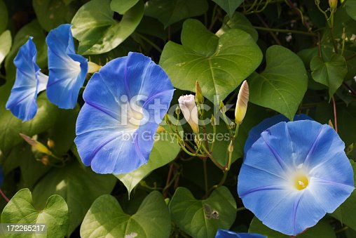 Close--up of a Morning Glory garden plant in full summer bloom. Horizontal format.