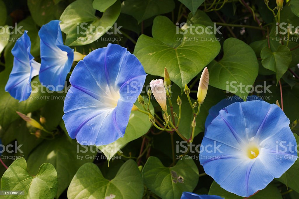 Morning Glory Flower Blooms, Blue Sunlit Petals in Garden stock photo