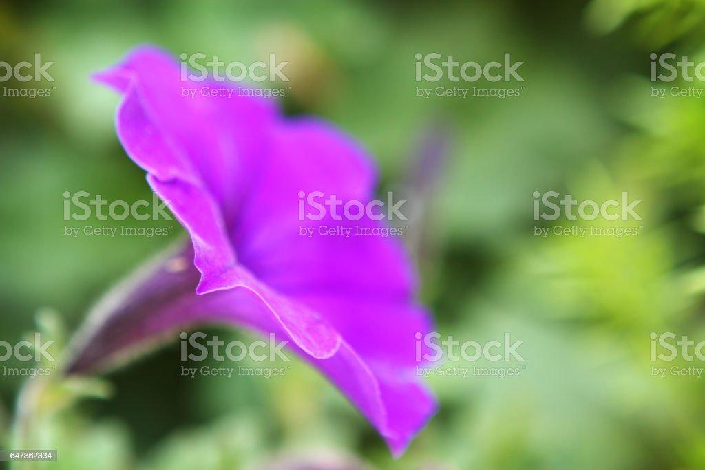Morning Glory Flower Blossom Ipomoea purpurea Bloom - foto de acervo