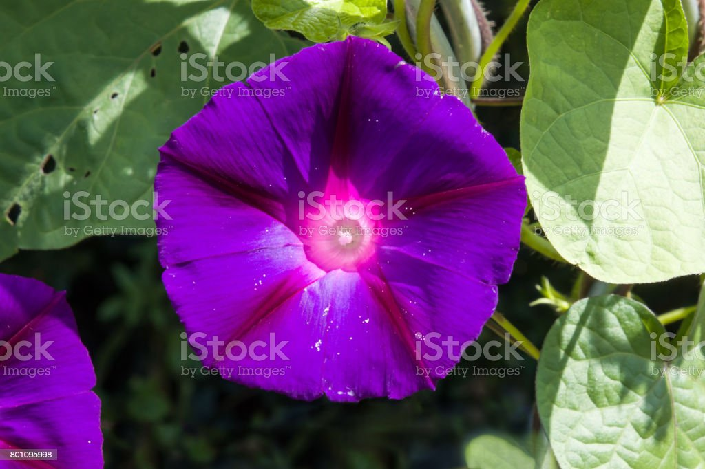 Morning Glory flor - foto de acervo
