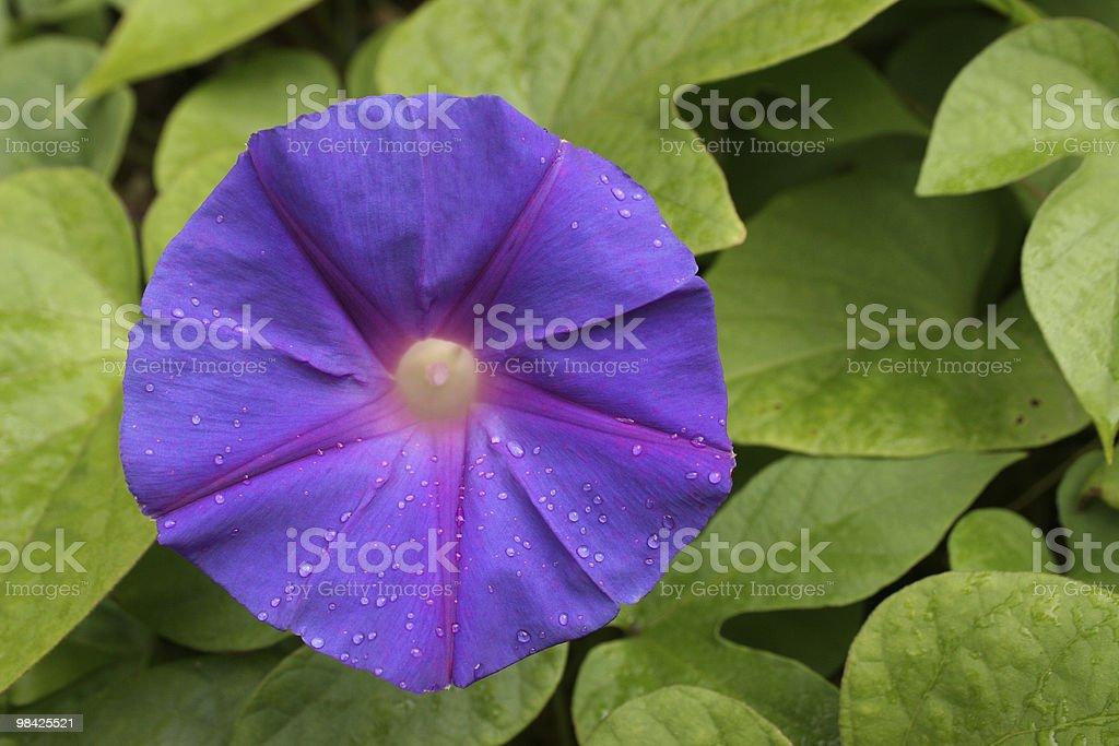 Morning Glory Flower royalty-free stock photo