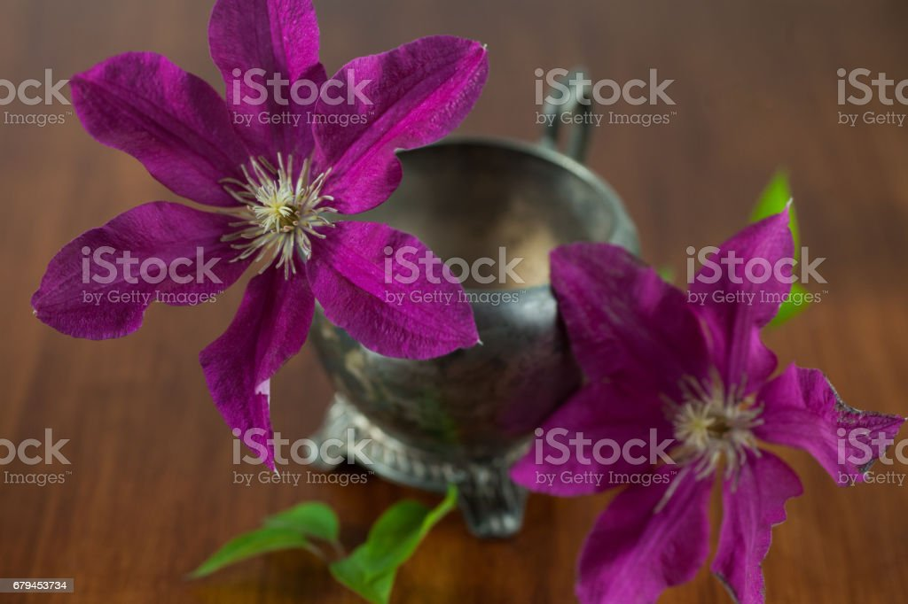 Morning Glory flower sits in vintage metal sugar bowl royalty-free stock photo