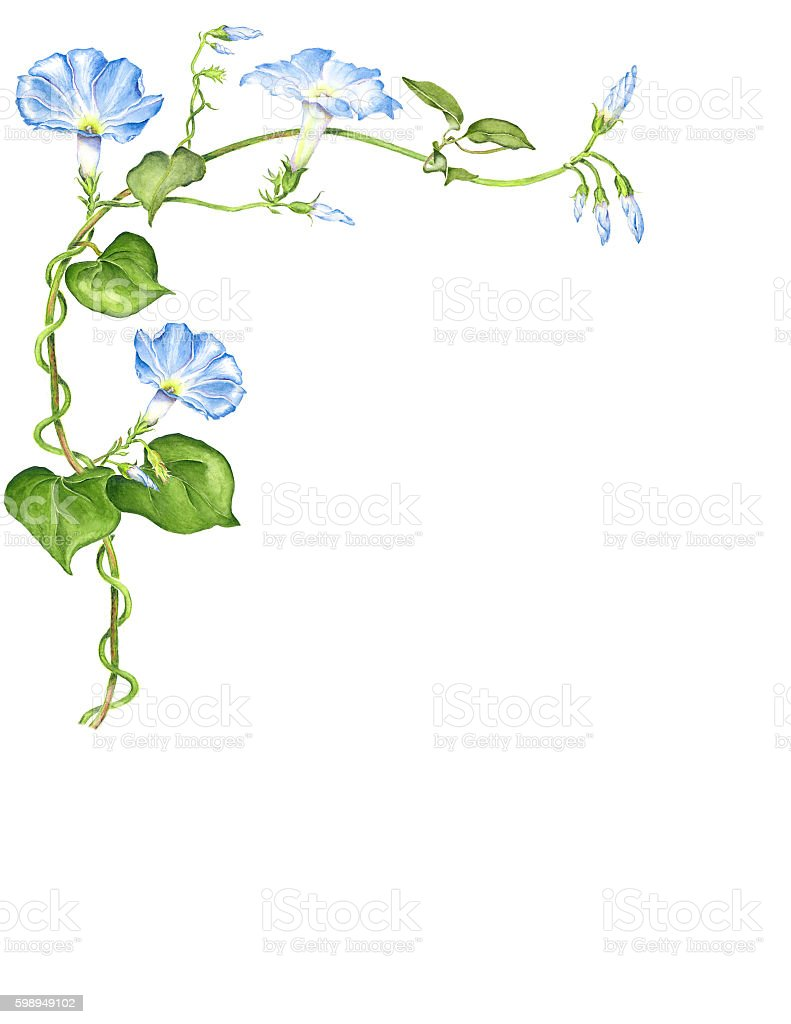 Morning Glory Flowers in Watercolor, White Background stock photo