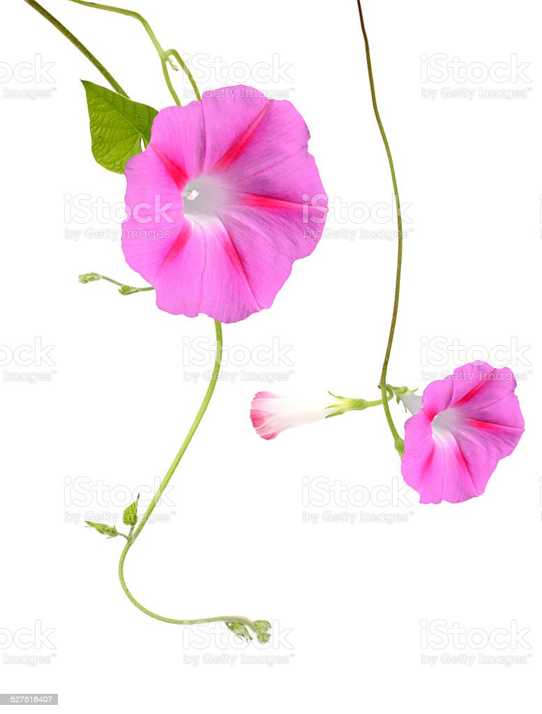 Morning Glory Flowers Isolated stock photo