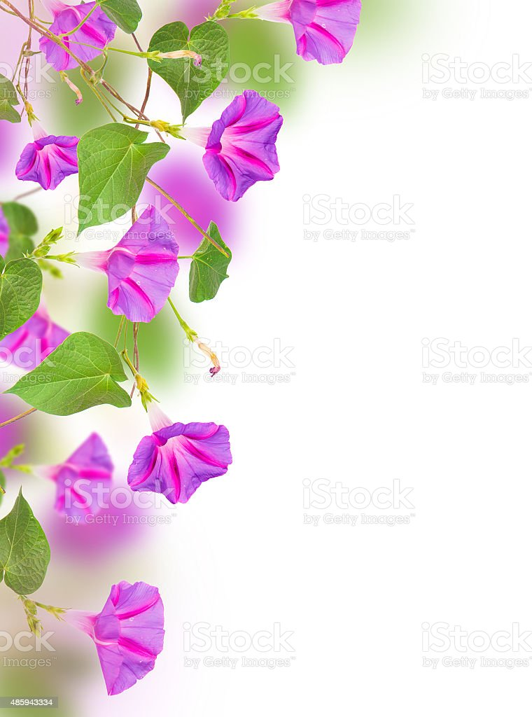 morning glory flowers. stock photo