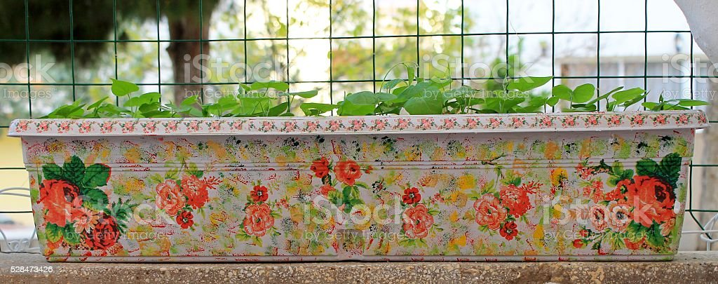 Morning Glory Flowers Young in a decorative flower handmade container stock photo