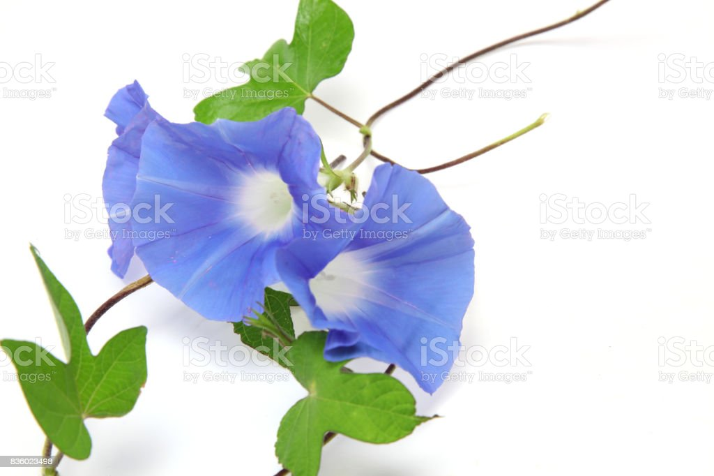 Morning glory in a white background stock photo