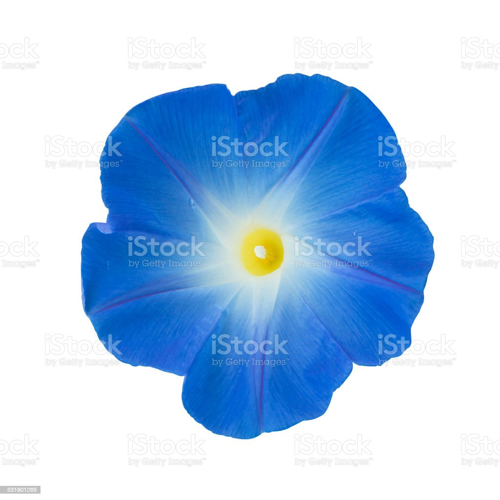 Morning glory isolated on white stock photo