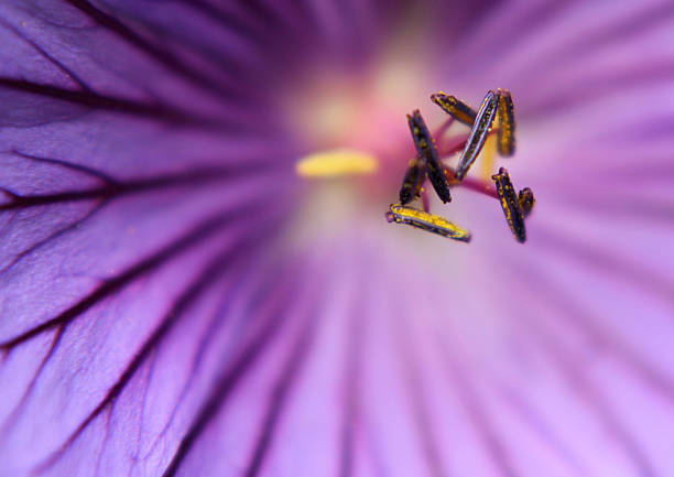 morning glory morning glory in macro abjure stock pictures, royalty-free photos & images