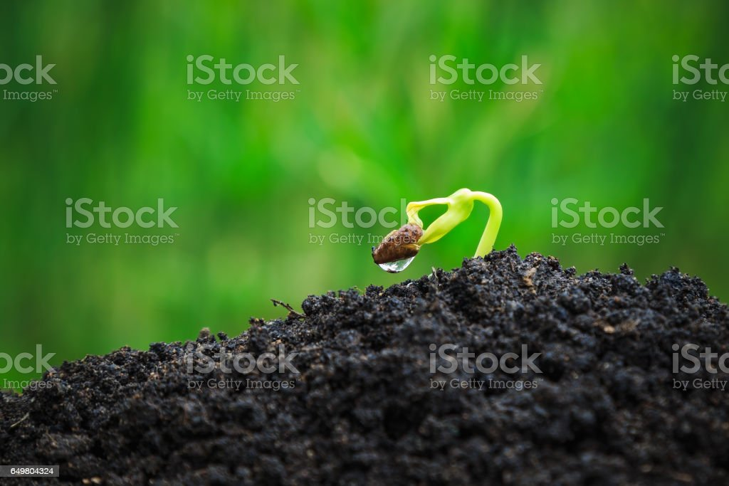 Morning glory plant germinating from seed stock photo