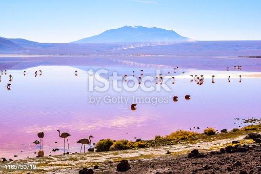 flamingos feeding in the colourful laguna colorada in bolivia