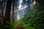 Dirt road in the redwood forest