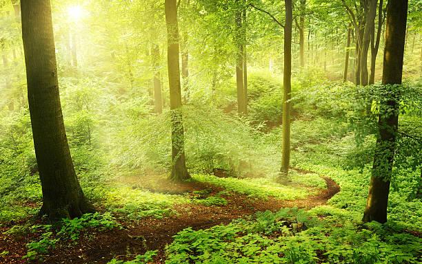 morgen in einem grünen sommer-nationalforst - deutsche bäume stock-fotos und bilder