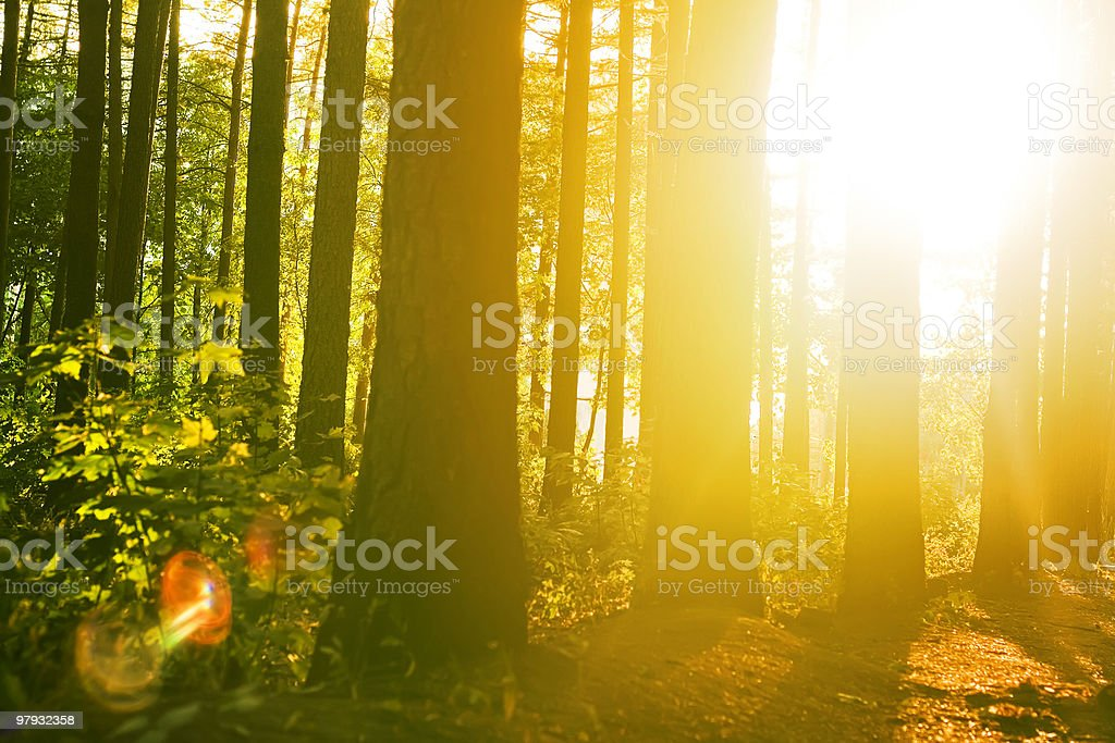 morning in a quiet wood royalty-free stock photo