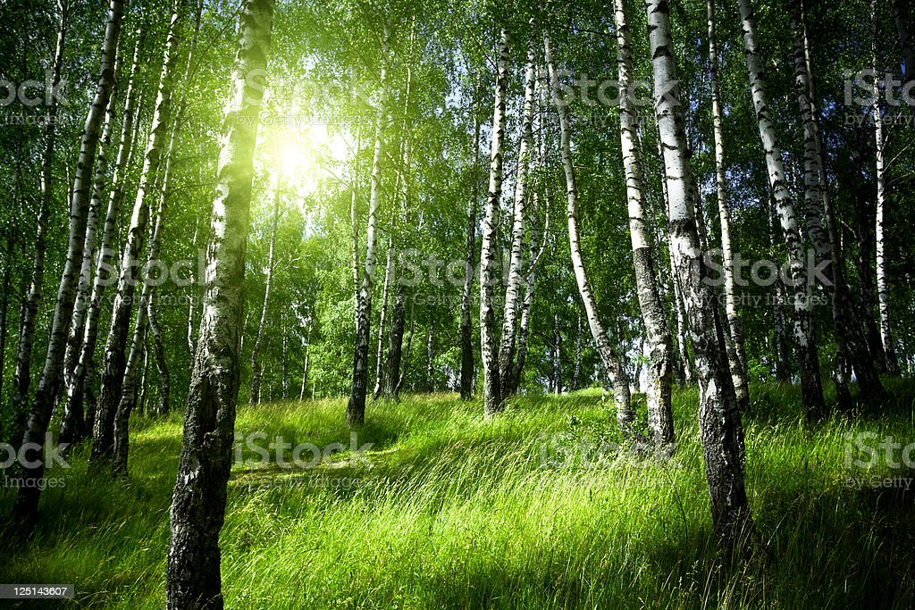 Morning in birch forest stock photo