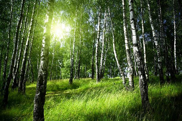 Morgen in Birke Wald – Foto