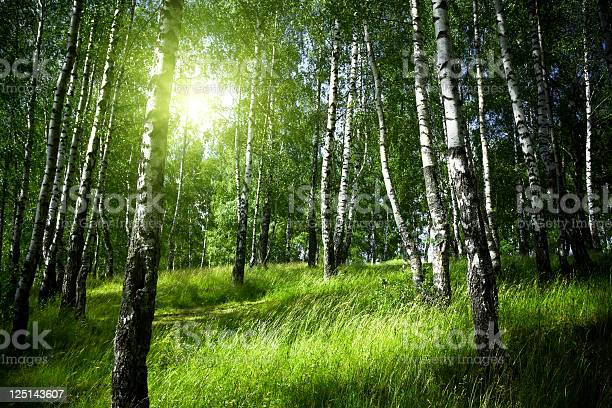 Photo of Morning in birch forest