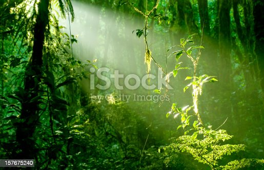Early morning sunlight makes the epiphyte plants shimmer in the lush cloud forest of Santa Elena, Costa Rica. Light is natural, no post processing used to achieve the effect.
