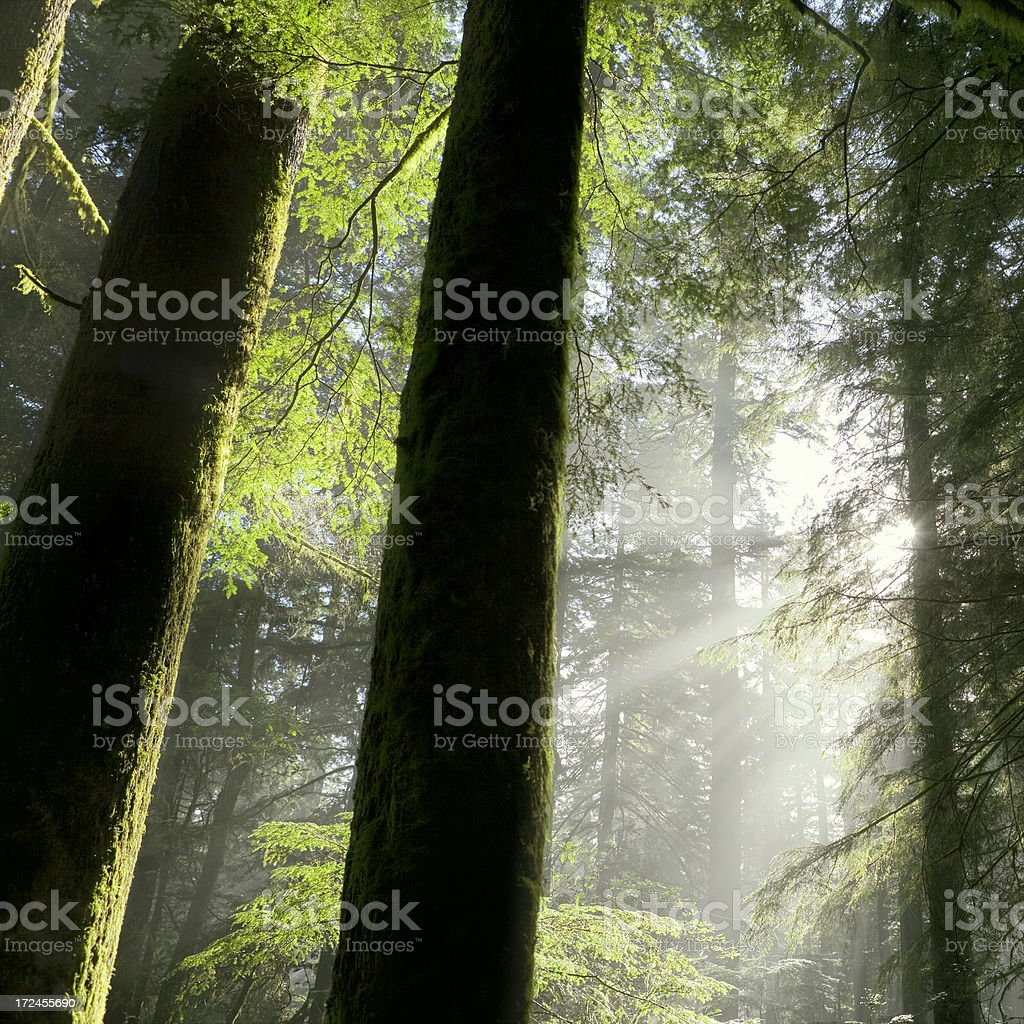 Morning in Sequoia National Park royalty-free stock photo