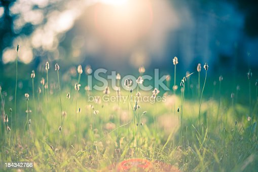 Early morning sun shining on wildflowers or weeds growing in a grassy field.  The foreground plants and grass are slightly out of focus, and shallow depth of field blurs everything behind the plants in the immediate foreground.  The sun appears as a bright glow shining from the top center of the frame. Bokeh effect is evident.
