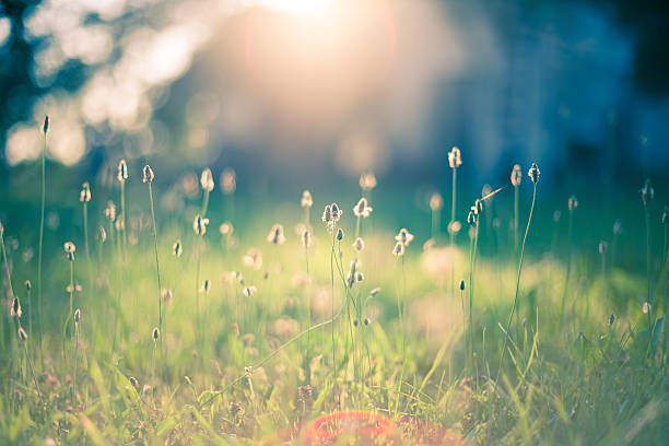 Morning in the field Early morning sun shining on wildflowers or weeds growing in a grassy field.  The foreground plants and grass are slightly out of focus, and shallow depth of field blurs everything behind the plants in the immediate foreground.  The sun appears as a bright glow shining from the top center of the frame. Bokeh effect is evident. tranquil scene stock pictures, royalty-free photos & images