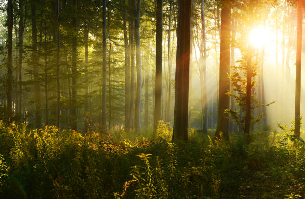 morning in the forest - deciduous stock pictures, royalty-free photos & images