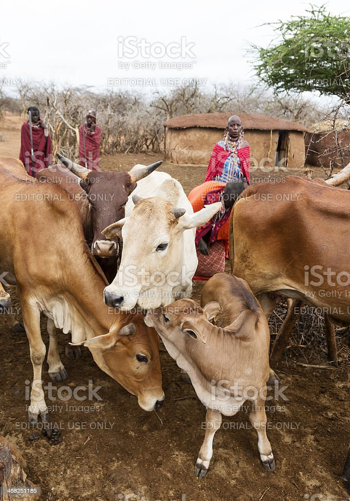 Morning in the masai village with people and cattle. stock photo