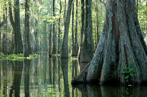 morning in the swamp - cypress tree stock photos and pictures