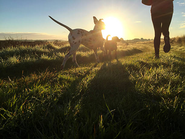 morning jog with the dogs - animal health stock photos and pictures