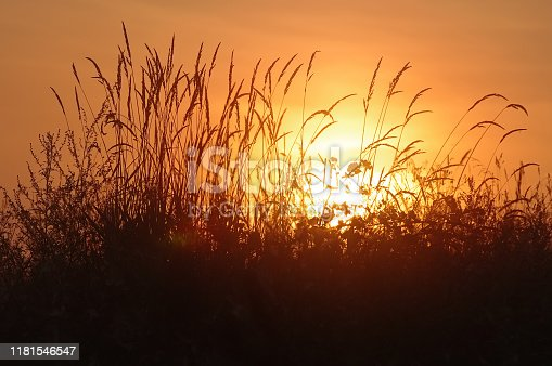 Reed against the background of the rising sun.
