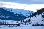 Wilderness landscape with bison grazing and resting in snow covered valley