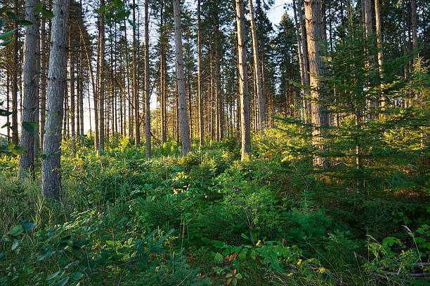 Morning light among pine trees in northern Minnesota forest stock photo