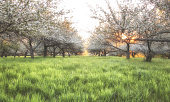 Can see the sun just rising in an apple orchard. Green grass and orange light. blur image, Space for text, Welcome spring