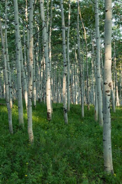 Morning Light In aspen Forest stock photo
